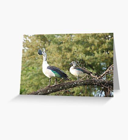 morning perch.  knob-billed duck. Greeting Card