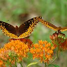 Great Spangled Fritillary Pair by Jean Gregory  Evans
