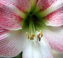 Pink Amaryllis by RebeccaBlackman