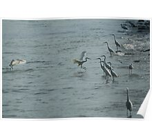 egrets hunting Poster