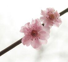 Cherry Blossom  by Adara Rosalie