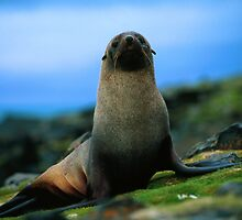 Awesome Antarctic Fur Seal by cute-wildlife
