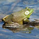 Male bullfrog by hummingbirds