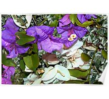 White and purple bougainvillea Poster