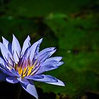 powder blue water lily by Gerry Daniel