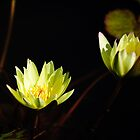 yellow water lilies in bloom by Gerry Daniel