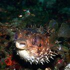 orbicular burrfish - cyclichthys orbicularis by spyderdesign