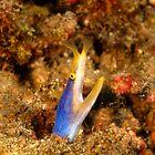 blue ribbon eel - rhinomuraena quaesita by spyderdesign