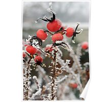 Frost on Rosehips Poster