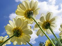 Daisy from a Worms Eye View by AnnDixon