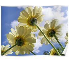 Daisy from a Worms Eye View Poster