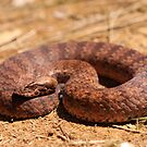 Barklays Death Adder by Steve Bullock