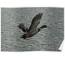 Waterfowl in Flight #4 Poster