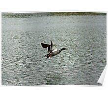 Waterfowl in Flight #9 Poster