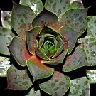 Sempervivum Purple Haze by Gabrielle  Lees