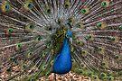 Peacock Blue by yolanda