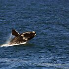 Whale Breaching - Hermanus, South Africa by digsy