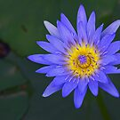Water Lily by Stecar