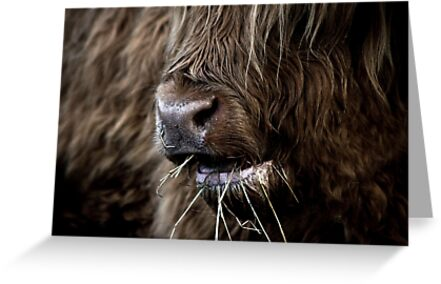 Hamish, Highland Cow, Kilmahog by citycycling