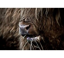 Hamish, Highland Cow, Kilmahog Photographic Print