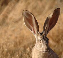 Beautiful Jackrabbit by cute-wildlife