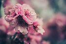 Cherry Blossom Pink by yolanda