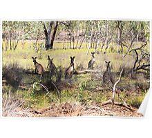 Kangaroos at Undara National Park Poster
