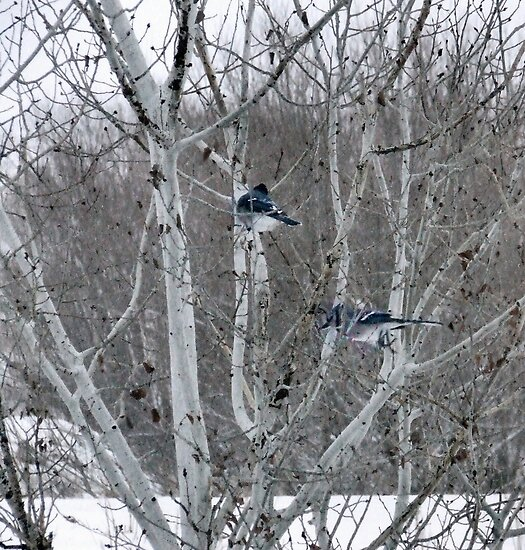Aspens and Blue Jays by Barb Miller
