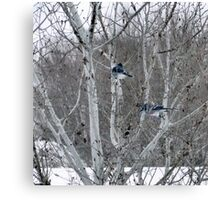 Aspens and Blue Jays Canvas Print