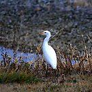Cattle Egret by Dave & Trena Puckett