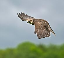 Lanner Falcon in Flight by Daniel  Parent