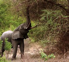 Elderly Elephant Eating - Lake Manyara, Tanzania by digsy