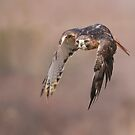 Red-tailed Hawk - Ontario, Canada  by Raymond J Barlow
