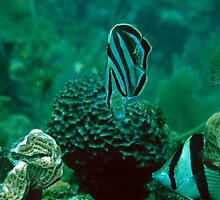 Banded Butterfly Fish by Christopher Smart