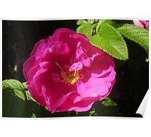 Rosehip Flower Poster