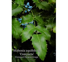 Compact Oregon Grape Photographic Print