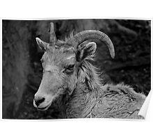 Bighorn Ewe Poster