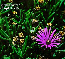 Hardy Purple Ice Plant by Bruce Bishop