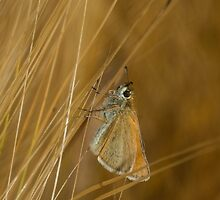 Butterfly on barley by JanSmithPics