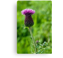 Field Thistle Canvas Print