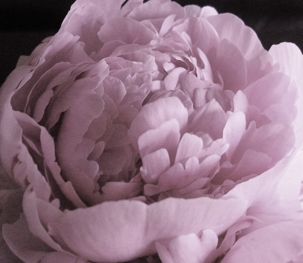 Peony Pillow by Lindsey Fisher