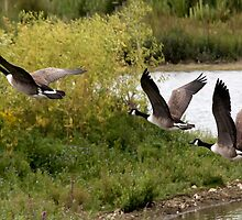 Canada Geese in Fight. by Lesogorman