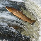 Traversing Trout by dsargent