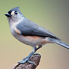 Tufted Titmouse on a November Day by Bonnie T.  Barry