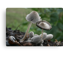 Inky Cap mushrooms Canvas Print