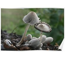 Inky Cap mushrooms Poster