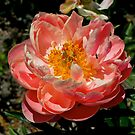Peony, Blenheim, South Island, NZ by johnrf