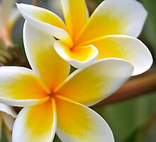 Frangipani by Kain Swift