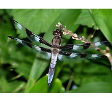 A male twelve-spotted skimmer. Photographic Print