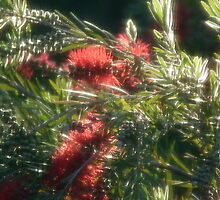 Angelic Red Wattle #1 - Nov 2010 by tmac